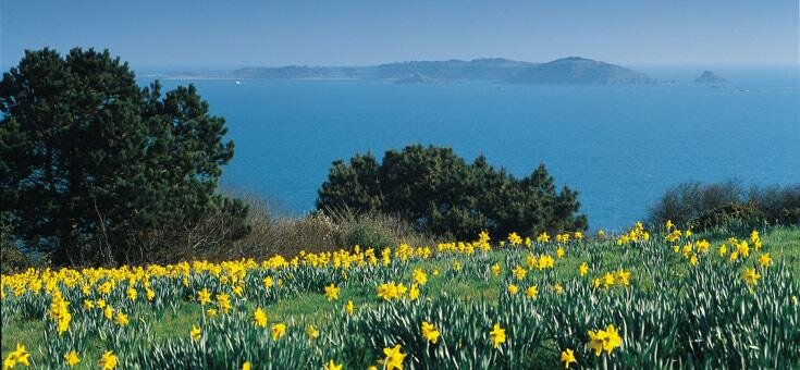 Field of daffodils on Guernsey