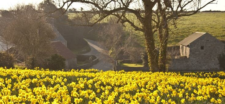 Field of daffodils in Guernsey