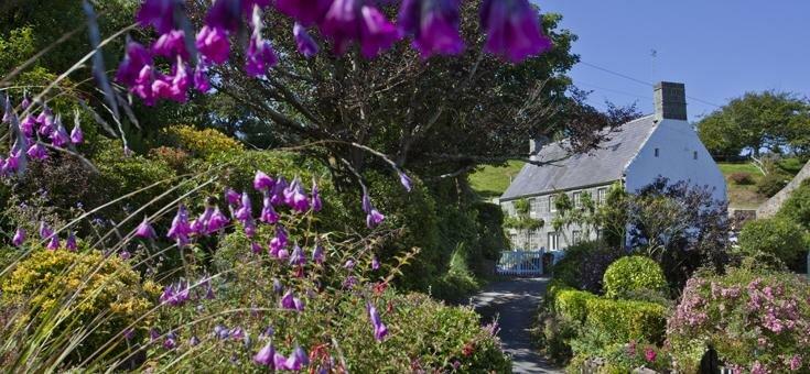Guernsey foxgloves