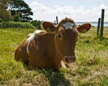guernsey-cow-10