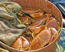 Guernsey crabs